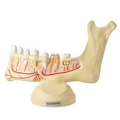 Anatomia do Dente e Mandíbula Inferior de um Jovem 6 Partes