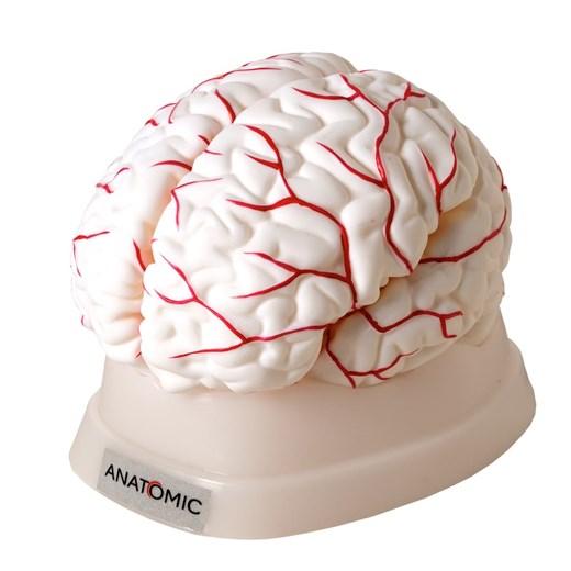 Cérebro Com Artérias 8 Partes