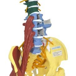 Coluna Vertebral Flexível Multifuncional