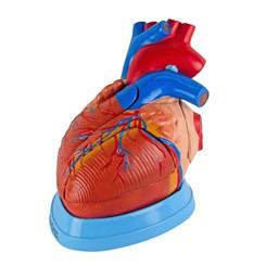 Coração Ampliado 5 Partes