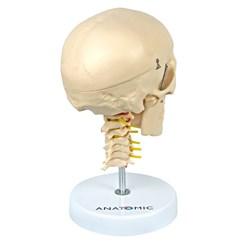 Crânio com Coluna Cervical e Cérebro 13 Partes
