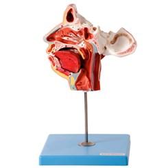 Crânio Facial com Demonstrativo de Nervos e Vasos