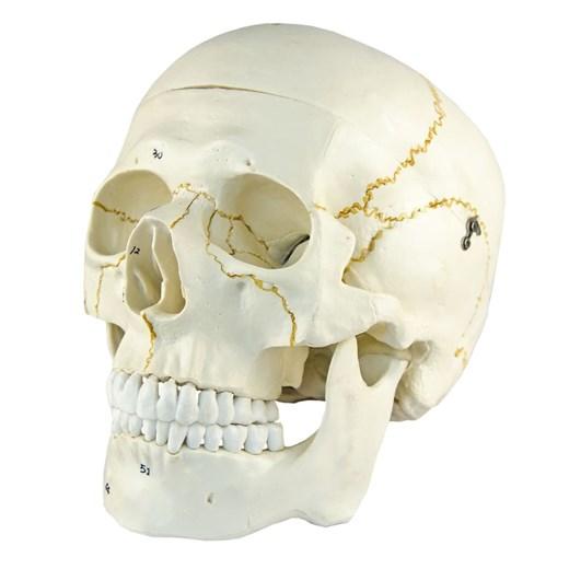 Crânio Numerado 2 Partes