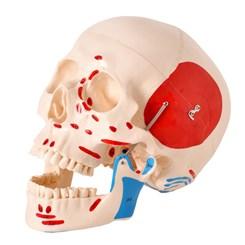 Crânio Numerado Com Origens e Inserções Musculares 2 Partes