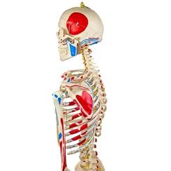 Esqueleto 168 cm Articulado Com Inserções Musculares Suporte e Base com Rodas