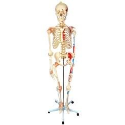 Esqueleto 168 cm Com Ligamentos e Inserções Musculares Com Suporte e Base com Rodas