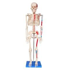 Esqueleto de 85 cm Articulado com Inserções Musculares