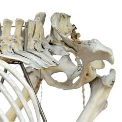 Esqueleto de Cavalo