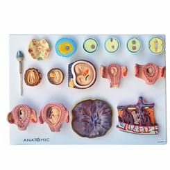 Fertilização Humana e Embriogenia Inicial