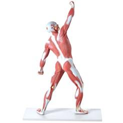 Manequim Muscular 50cm