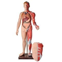 Manequim Muscular de 170 cm Masculino com Órgãos Internos 32 Partes