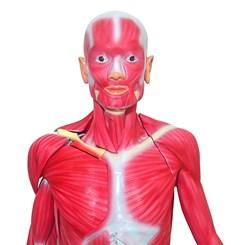 Manequim Muscular de 170cm Assexuado 33 Partes
