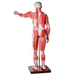 Manequim Muscular de 170cm Assexuado com Órgãos Internos 30 Partes