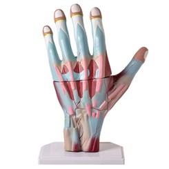 Mão Muscular Ampliada 3 Partes