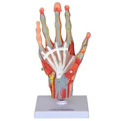 Mão Muscular Com Principais Nervos e Vasos 5 Partes