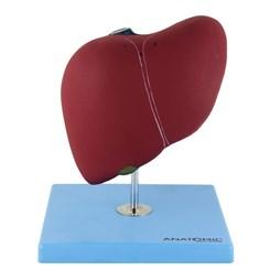 Modelo de Fígado Básico