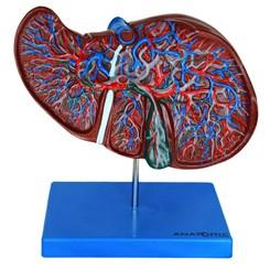 Modelo de Fígado Luxo