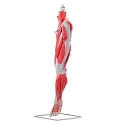 Músculos do Membro Inferior Com os Principais Vasos e Nervos 10 Partes