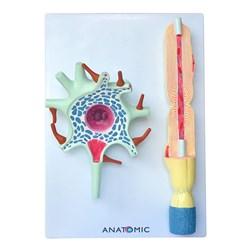 Neurônio Ampliado em 2 Partes