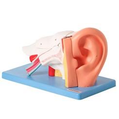 Ouvido Ampliado e Numerado 6 Partes
