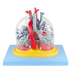 Pulmão Transparente com Arvore Brônquica Traqueia Coração e Mediastino