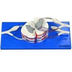 Sistema da Medula Espinhal Ampliado