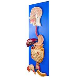 Sistema Digestório em Placa