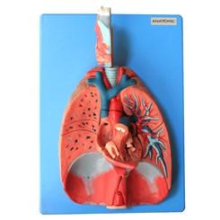 Sistema Respiratório e Cardiovascular Luxo 7 Partes